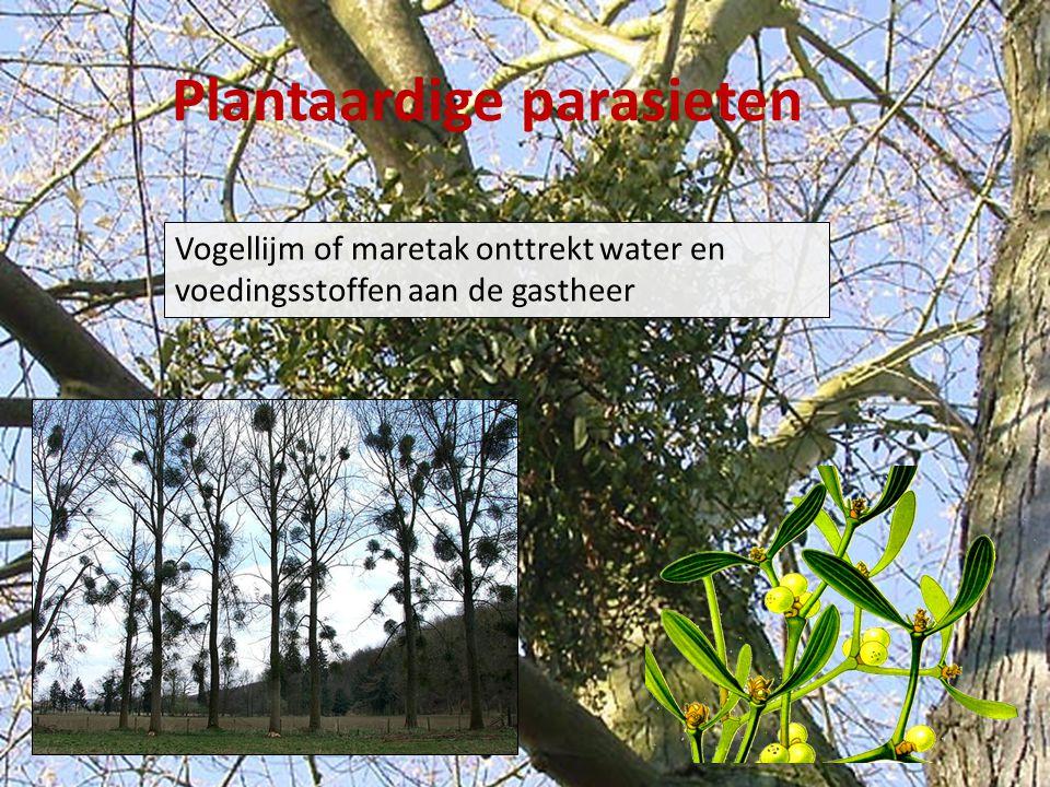 Plantaardige parasieten Vogellijm of maretak onttrekt water en voedingsstoffen aan de gastheer