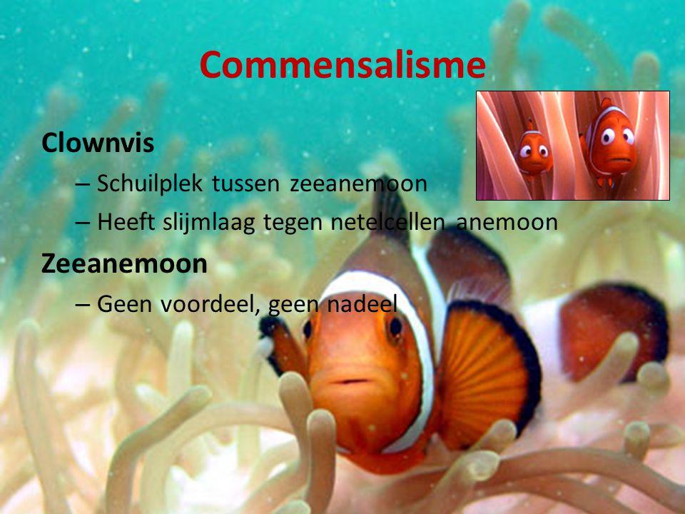 Commensalisme Clownvis – Schuilplek tussen zeeanemoon – Heeft slijmlaag tegen netelcellen anemoon Zeeanemoon – Geen voordeel, geen nadeel