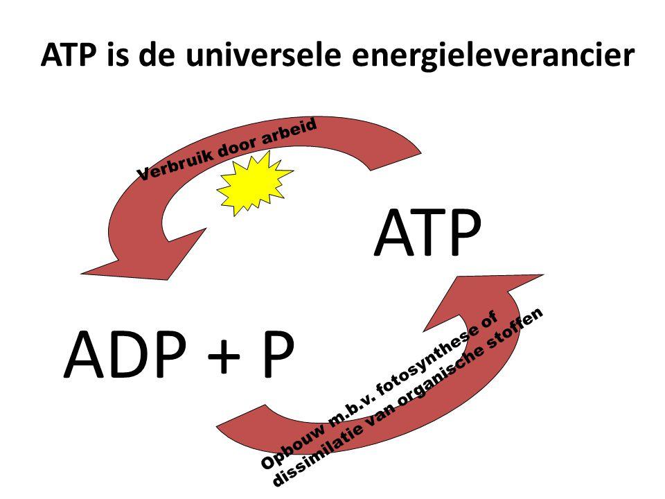 ATP is de universele energieleverancier Verbruik door arbeid ATP ADP + P Opbouw m.b.v. fotosynthese of dissimilatie van organische stoffen