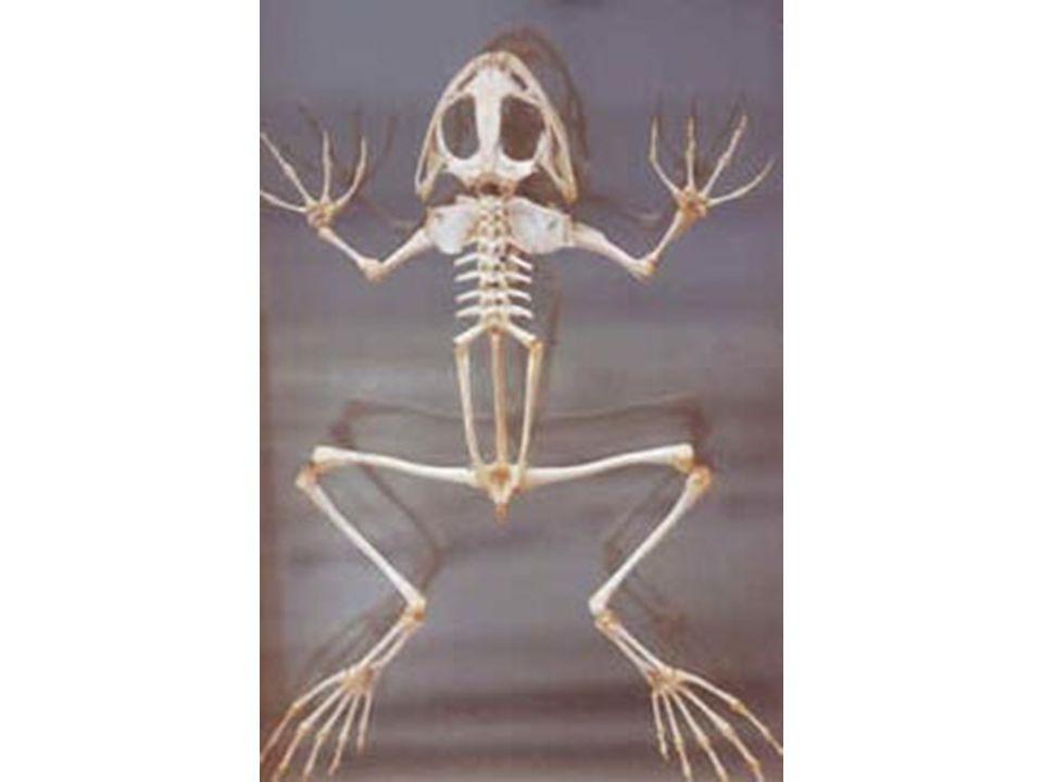 VissenReptielenAmfibieënVogels Inwendig skelet met wervelkolom Gewervelden BacteriënSchimmelsPlanten Dieren Afdeling : Groep :Zoog- dieren Huid: Lichaamstemperatuur: Ademhalingsorganen: Voortplanting: Haren Warmbloedig Longen Levendbarend