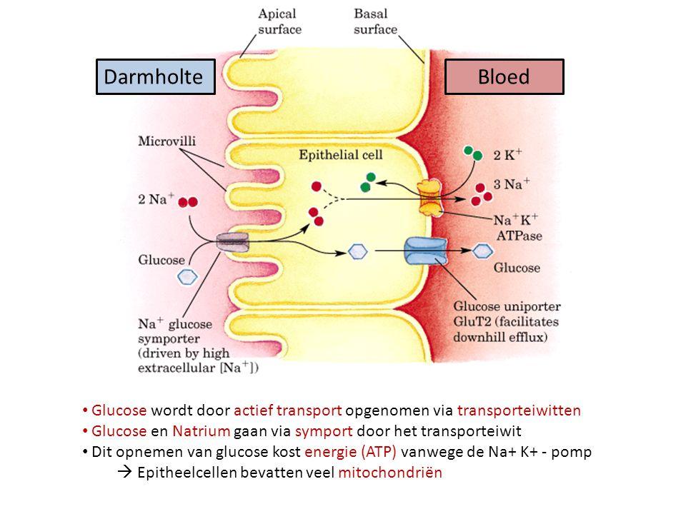 DarmholteBloed Glucose wordt door actief transport opgenomen via transporteiwitten Glucose en Natrium gaan via symport door het transporteiwit Dit opnemen van glucose kost energie (ATP) vanwege de Na+ K+ - pomp  Epitheelcellen bevatten veel mitochondriën
