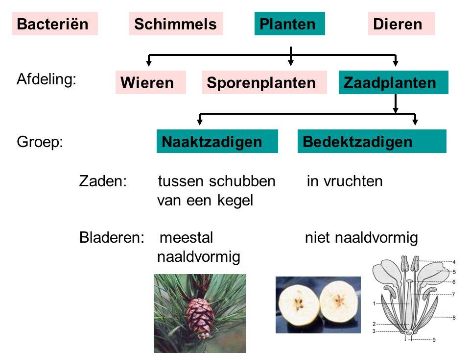 Groep:NaaktzadigenBedektzadigen Zaden: tussen schubben in vruchten van een kegel Bladeren: meestal niet naaldvormig naaldvormig Afdeling: BacteriënSchimmelsPlantenDieren WierenSporenplantenZaadplanten