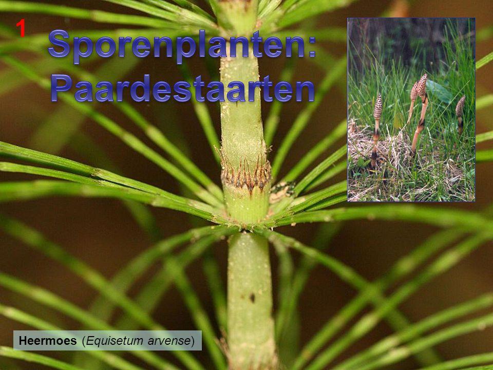 Paardenbloem (Taraxacum officinale) 2