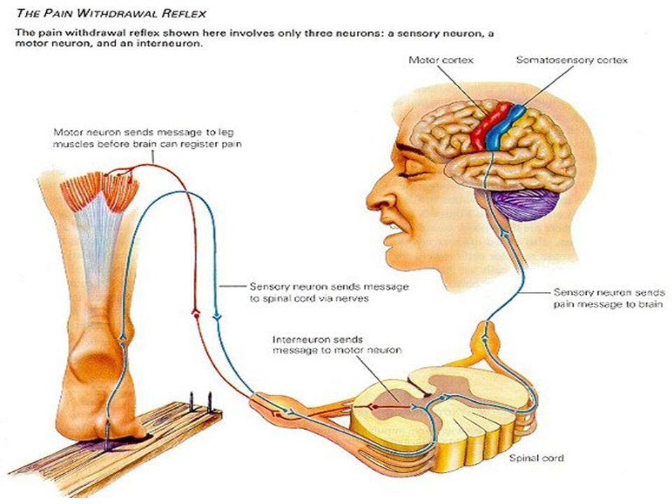 Het zenuwstelsel Indeling op grond van werking Animale zenuwstelsel - staat onder invloed van de wil - verzorgt bewuste reacties en reflexen - centra liggen voornamelijk in grote hersenen Autonome zenuwstelsel - staat niet onder invloed van de wil - voor onbewuste functies van organen - regelt allerlei lichaamsfuncties o.a.hartslag, spijsvertering,ademhaling, nieren etc - centra in hersenstam Hormoonstelsel veel invloed op