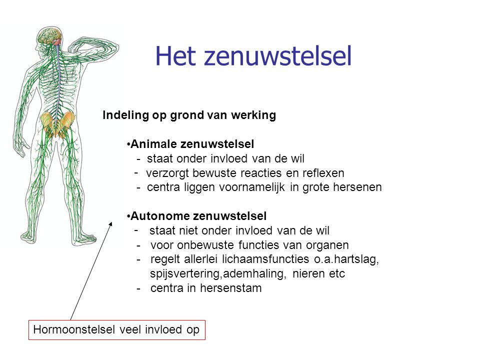 Autonome zenuwstelsel Bestaat uit: 1) orthosympatisch deel 2) parasympatisch deel Naar ieder orgaan (doelwitorgaan) gaat een orthosympatische zenuw en een parasympatische zenuw (= dubbele innervatie) Deze hebben een tegengestelde werking