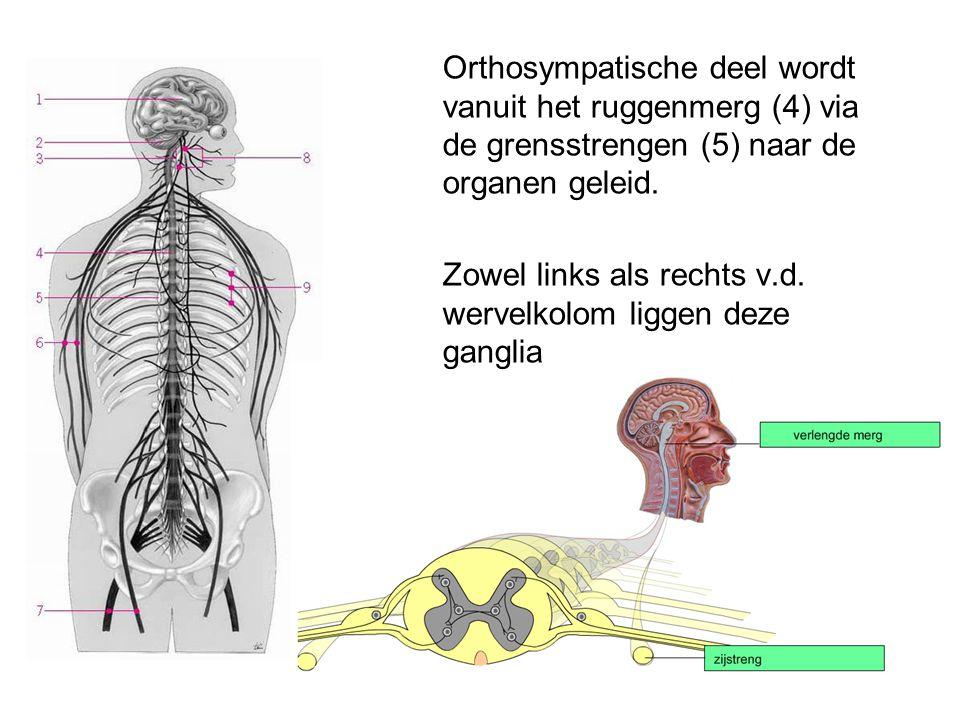 Orthosympatische deel wordt vanuit het ruggenmerg (4) via de grensstrengen (5) naar de organen geleid. Zowel links als rechts v.d. wervelkolom liggen