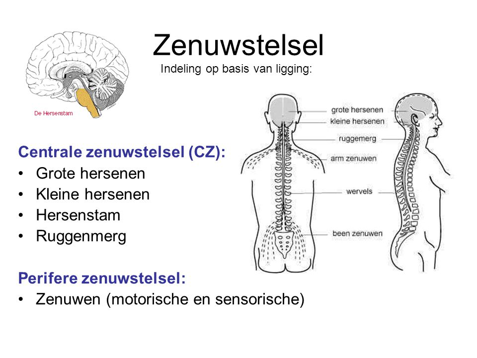 Zenuwstelsel Centrale zenuwstelsel (CZ): Grote hersenen Kleine hersenen Hersenstam Ruggenmerg Perifere zenuwstelsel: Zenuwen (motorische en sensorisch
