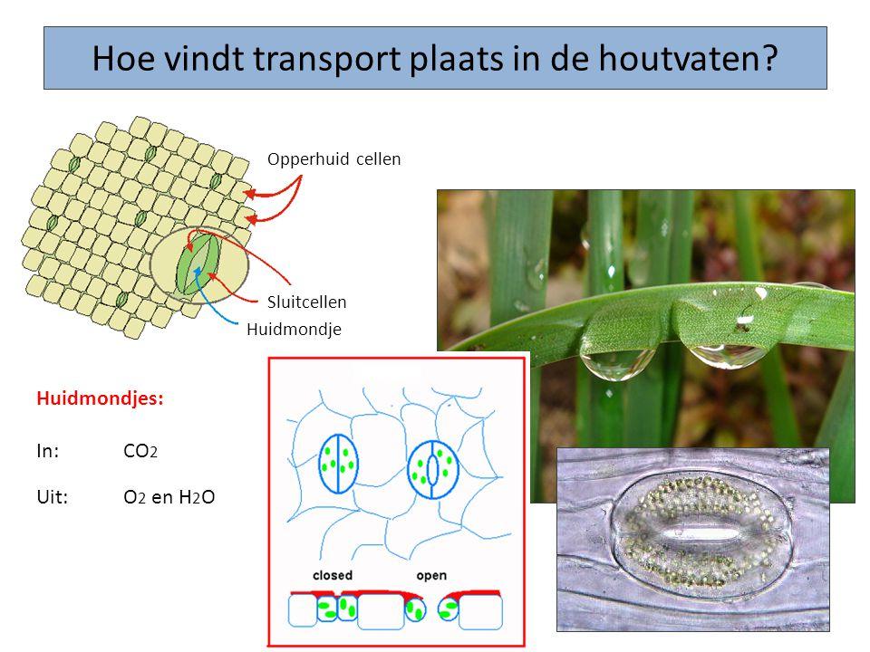 Hoe vindt transport plaats in de houtvaten? Huidmondjes: In: CO 2 Uit: O 2 en H 2 O Sluitcellen Huidmondje Opperhuid cellen