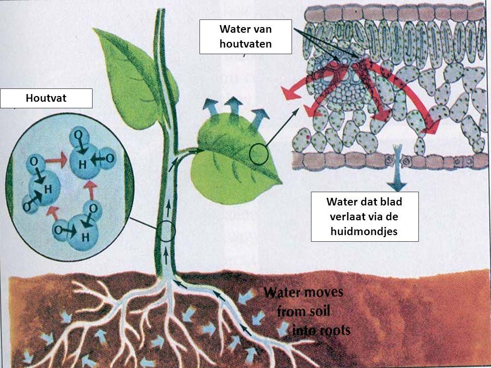 Houtvat Water van houtvaten Water dat blad verlaat via de huidmondjes