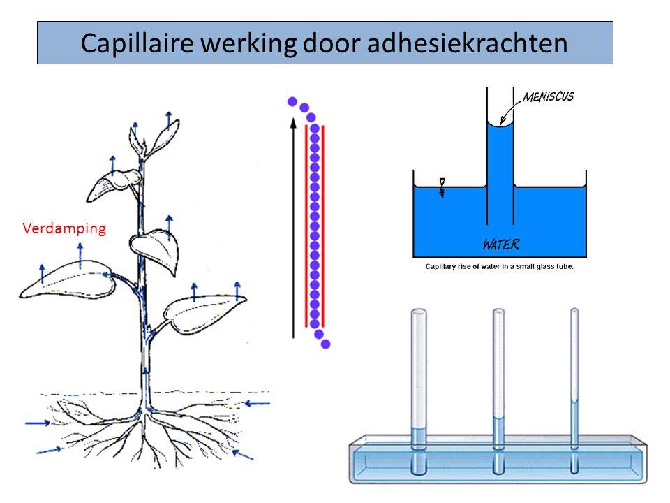 Capillaire werking door adhesiekrachten Verdamping