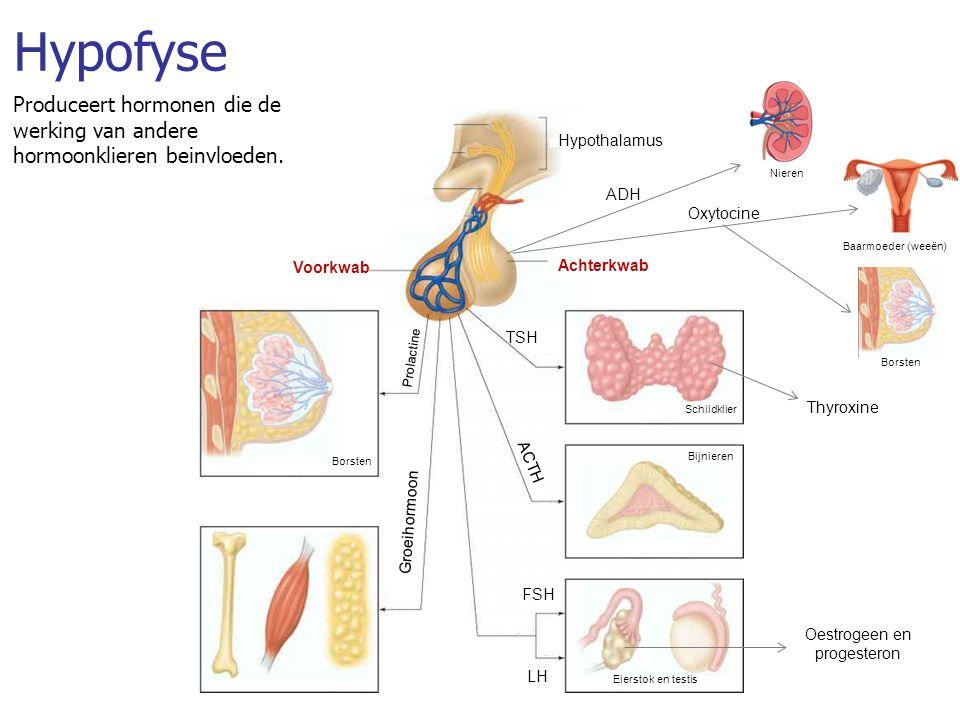 Hypofyse Produceert hormonen die de werking van andere hormoonklieren beinvloeden.