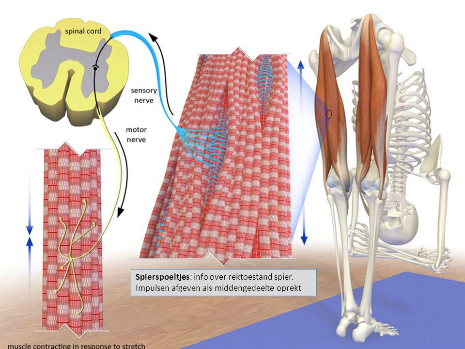 Spierspoeltjes: info over rektoestand spier. Impulsen afgeven als middengedeelte oprekt