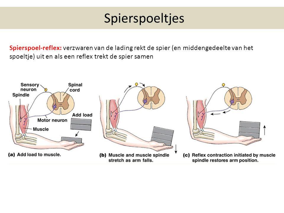 Spierspoeltjes Spierspoel-reflex: verzwaren van de lading rekt de spier (en middengedeelte van het spoeltje) uit en als een reflex trekt de spier samen