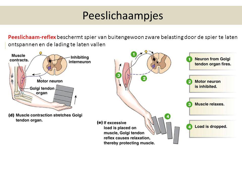 Peeslichaampjes Peeslichaam-reflex beschermt spier van buitengewoon zware belasting door de spier te laten ontspannen en de lading te laten vallen