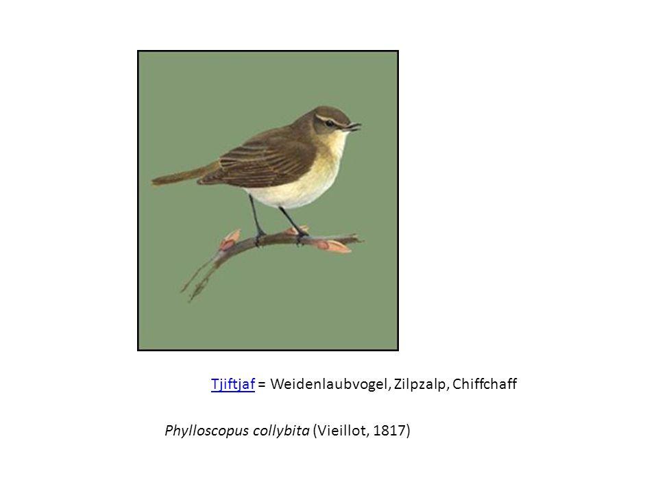 TjiftjafTjiftjaf = Weidenlaubvogel, Zilpzalp, Chiffchaff Phylloscopus collybita (Vieillot, 1817)