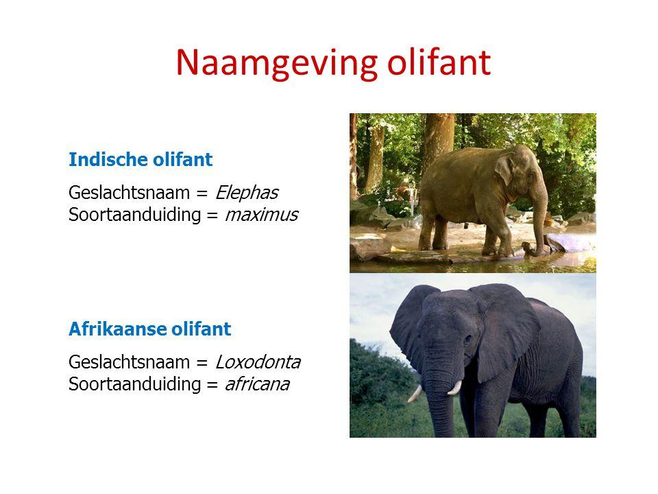 Naamgeving olifant Indische olifant Geslachtsnaam = Elephas Soortaanduiding = maximus Afrikaanse olifant Geslachtsnaam = Loxodonta Soortaanduiding = africana