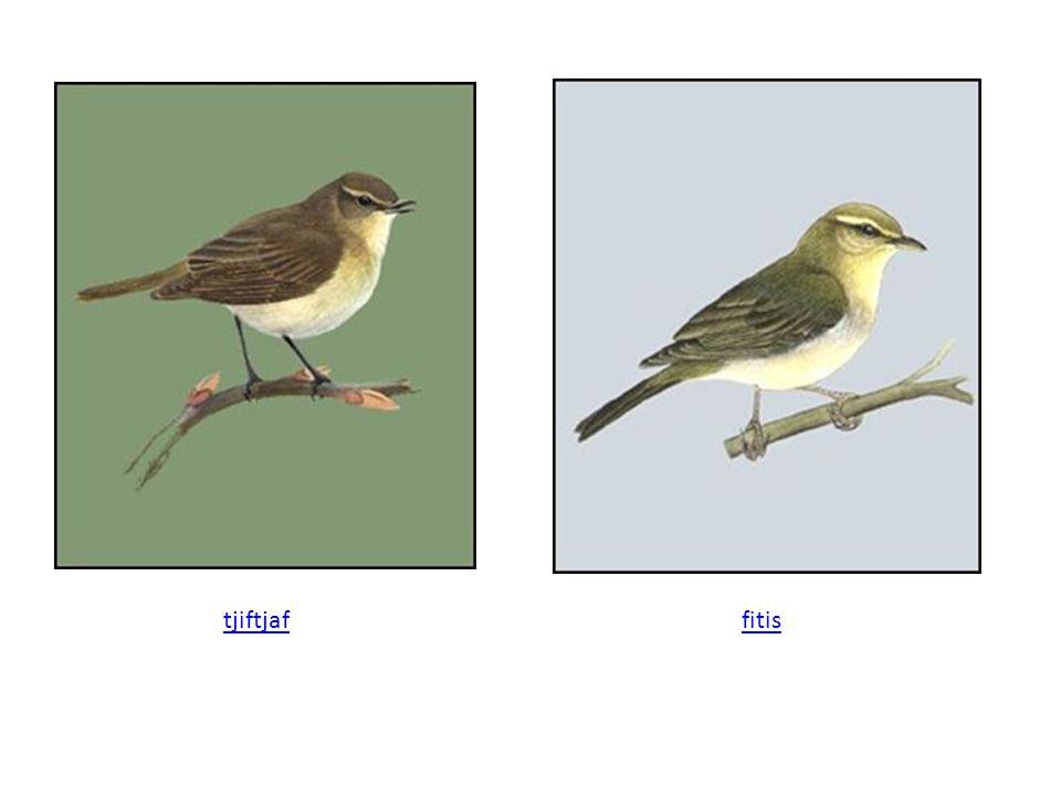 Nog een voorbeeld: 3 soorten uit het geslacht mees Parus major Parus caeruleus Parus cristatus