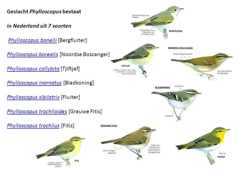 Geslacht Phylloscopus bestaat in Nederland uit 7 soorten Phylloscopus bonelli [Bergfluiter] Phylloscopus borealis [Noordse Boszanger]Phylloscopus bonelli Phylloscopus borealis Phylloscopus collybitaPhylloscopus collybita [Tjiftjaf] Phylloscopus inornatusPhylloscopus inornatus [Bladkoning] Phylloscopus sibilatrixPhylloscopus sibilatrix [Fluiter] Phylloscopus trochiloidesPhylloscopus trochiloides [Grauwe Fitis] Phylloscopus trochilusPhylloscopus trochilus [Fitis]