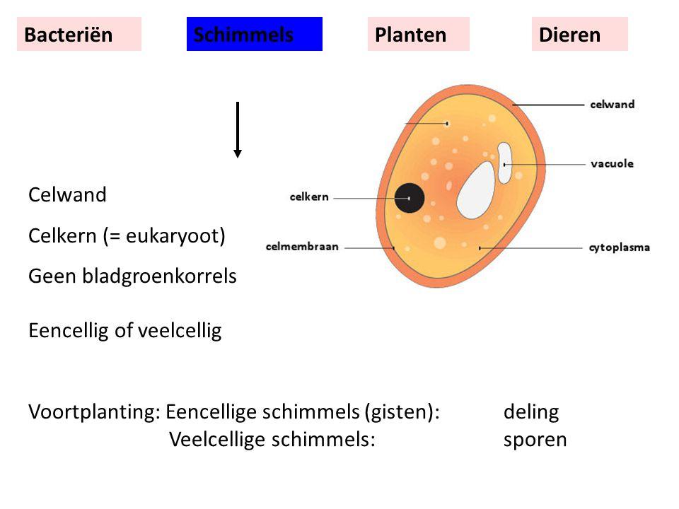 Celwand Celkern (= eukaryoot) Geen bladgroenkorrels Eencellig of veelcellig Voortplanting: Eencellige schimmels (gisten):deling Veelcellige schimmels:sporen BacteriënSchimmelsPlantenDieren