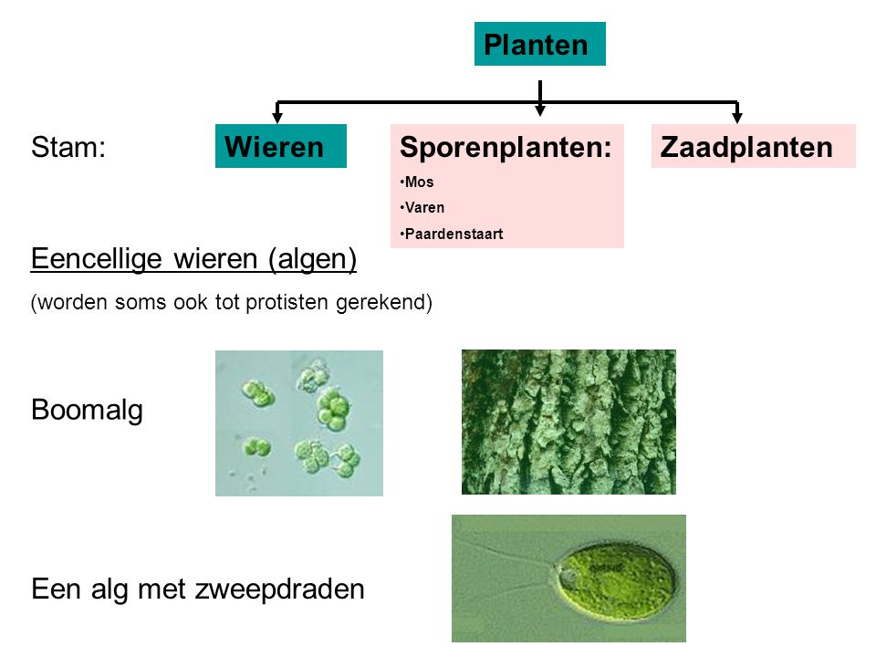 Stam: Planten WierenSporenplanten: Mos Varen Paardenstaart Zaadplanten Eencellige wieren (algen) (worden soms ook tot protisten gerekend) Boomalg Een alg met zweepdraden