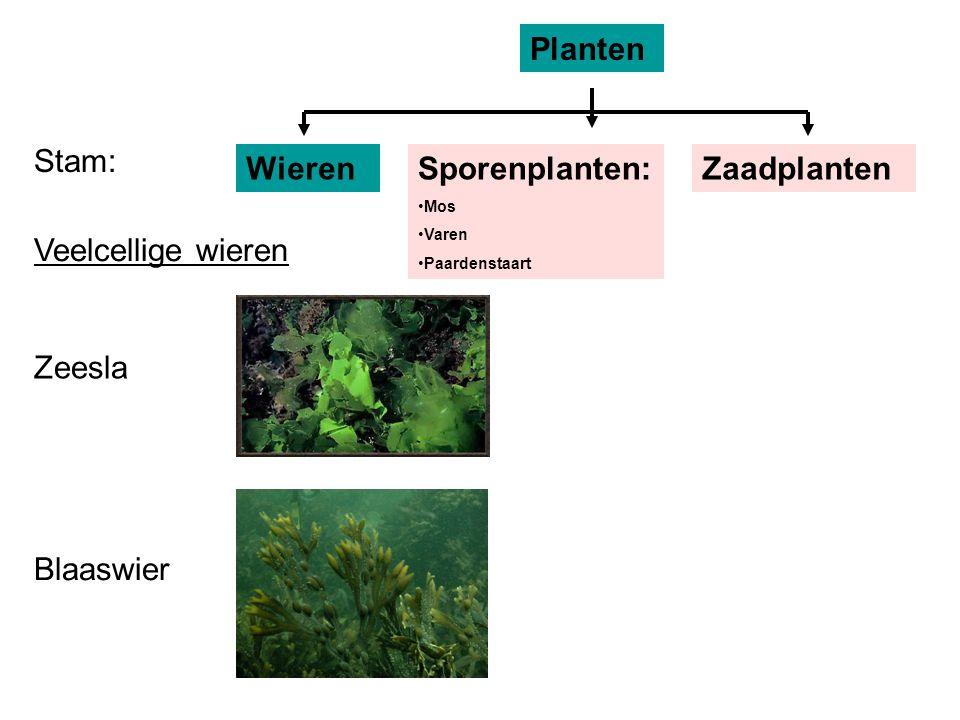 Zeesla Blaaswier Stam: Planten WierenZaadplanten Veelcellige wieren Sporenplanten: Mos Varen Paardenstaart