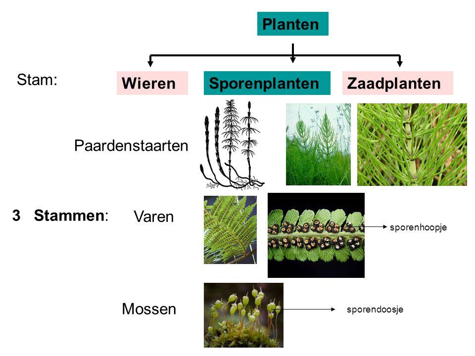 Groep:NaaktzadigenBedektzadigen Zaden: tussen schubben in vruchten van een kegel Bladeren: meestal niet naaldvormig naaldvormig Stam: Planten WierenSporenplantenZaadplanten