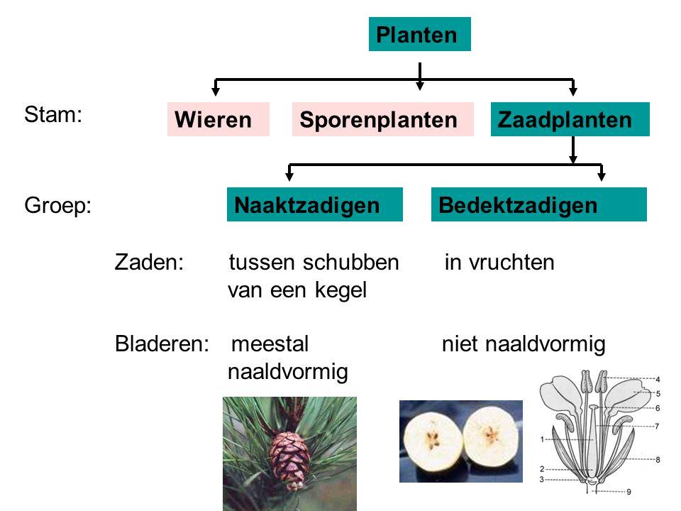 Groep:NaaktzadigenBedektzadigen Zaden: tussen schubben in vruchten van een kegel Bladeren: meestal niet naaldvormig naaldvormig Stam: Planten WierenSp