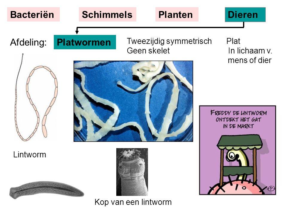 Tweezijdig symmetrisch Plat Geen skelet In lichaam v. mens of dier Lintworm Kop van een lintworm Platwormen BacteriënSchimmelsPlanten Dieren Afdeling: