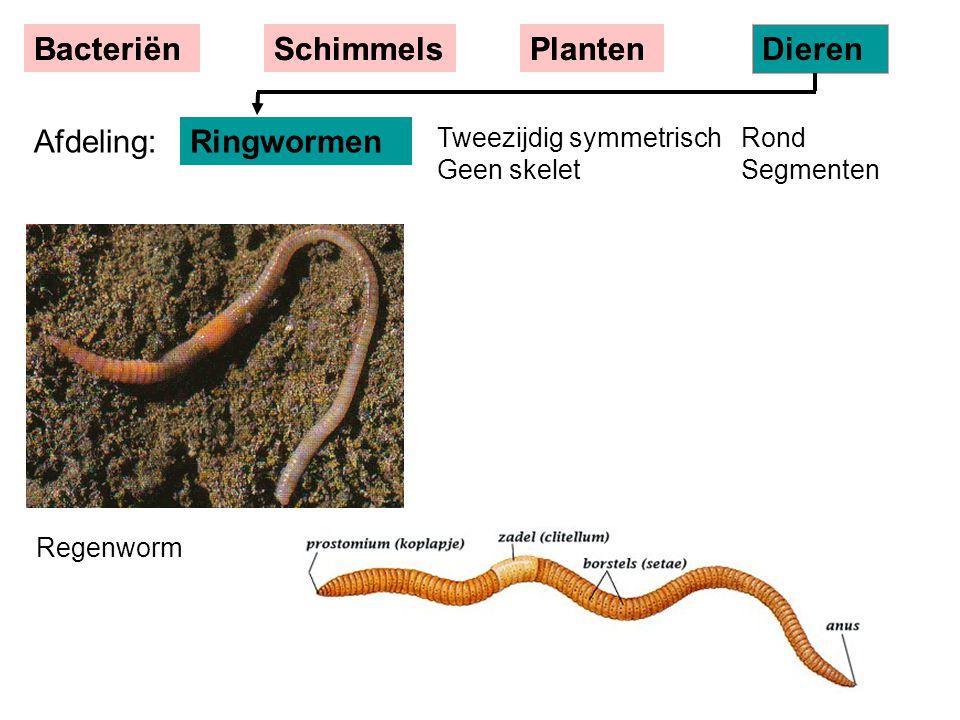 BacteriënSchimmelsPlanten Dieren Regenworm Tweezijdig symmetrisch Rond Geen skelet Segmenten Ringwormen BacteriënSchimmelsPlanten Dieren Afdeling: