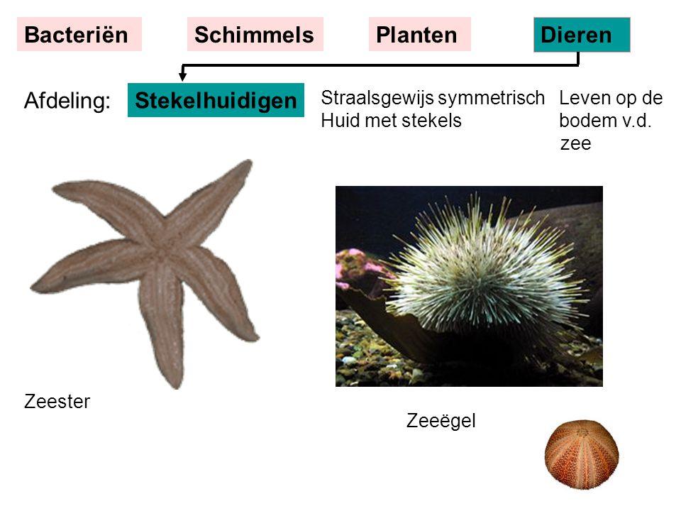 Straalsgewijs symmetrisch Leven op de Huid met stekels bodem v.d. zee Zeeëgel Zeester Stekelhuidigen BacteriënSchimmelsPlanten Dieren Afdeling:
