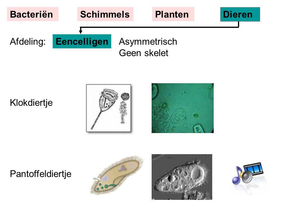 EencelligenAsymmetrisch Geen skelet BacteriënSchimmelsPlanten Dieren Klokdiertje Pantoffeldiertje Afdeling: