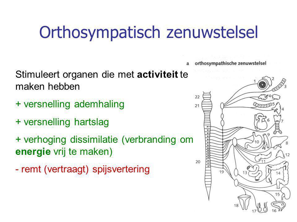 Stimuleert organen die met activiteit te maken hebben + versnelling ademhaling + versnelling hartslag + verhoging dissimilatie (verbranding om energie