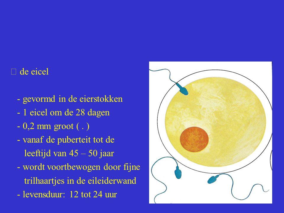  de eicel - gevormd in de eierstokken - 1 eicel om de 28 dagen - 0,2 mm groot (. ) - vanaf de puberteit tot de leeftijd van 45 – 50 jaar - wordt voor