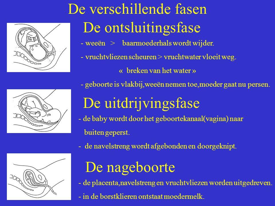 De verschillende fasen De ontsluitingsfase - weeën > baarmoederhals wordt wijder. - vruchtvliezen scheuren > vruchtwater vloeit weg. « breken van het