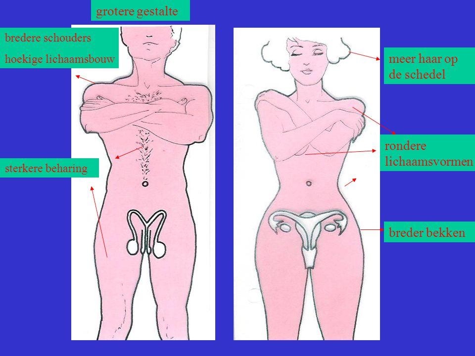 bredere schouders hoekige lichaamsbouw sterkere beharing rondere lichaamsvormen breder bekken meer haar op de schedel grotere gestalte