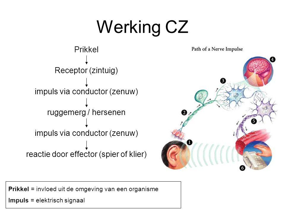Werking CZ Prikkel Receptor (zintuig) impuls via conductor (zenuw) ruggemerg / hersenen impuls via conductor (zenuw) reactie door effector (spier of klier) Prikkel = invloed uit de omgeving van een organisme Impuls = elektrisch signaal