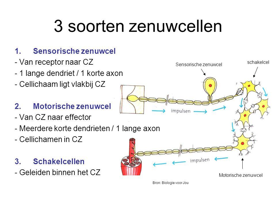 3 soorten zenuwcellen 1.Sensorische zenuwcel - Van receptor naar CZ - 1 lange dendriet / 1 korte axon - Cellichaam ligt vlakbij CZ 2.Motorische zenuwcel - Van CZ naar effector - Meerdere korte dendrieten / 1 lange axon - Cellichamen in CZ 3.Schakelcellen - Geleiden binnen het CZ schakelcel Motorische zenuwcel Sensorische zenuwcel Bron: Biologie voor Jou