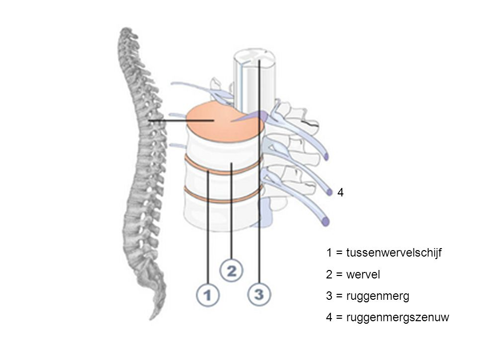 Witte stof (schors)  uitlopers Grijze stof (merg)  cellichamen van schakelcellen en motorische zenuwcellen Ruggenmerg Zenuwknoop (spinale ganglia)  liggen sensorische zenuwcellen