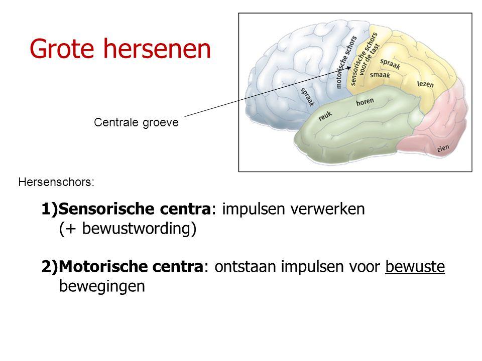 Grote hersenen 1)Sensorische centra: impulsen verwerken (+ bewustwording) 2)Motorische centra: ontstaan impulsen voor bewuste bewegingen Centrale groe