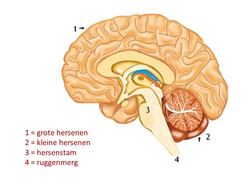 1 = grote hersenen 2 = kleine hersenen 3 = hersenstam 4 = ruggenmerg