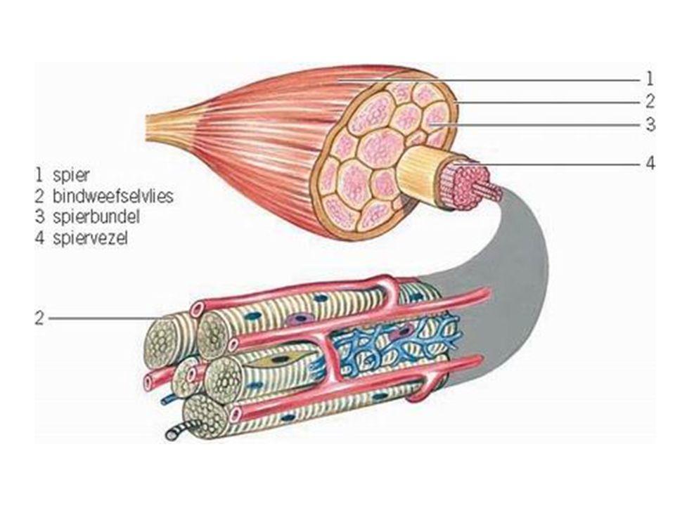 Trainen Kracht & Explosiviteit (Sprinter)  Spieren krijgen dikkere spiervezels  Wit spierweefsel Uithouding (Stayer)  Doorbloeding van spier verbeteren, minder snelle verzuring  Hartspier versterken / grotere longinhoud  Rood spierweefsel --