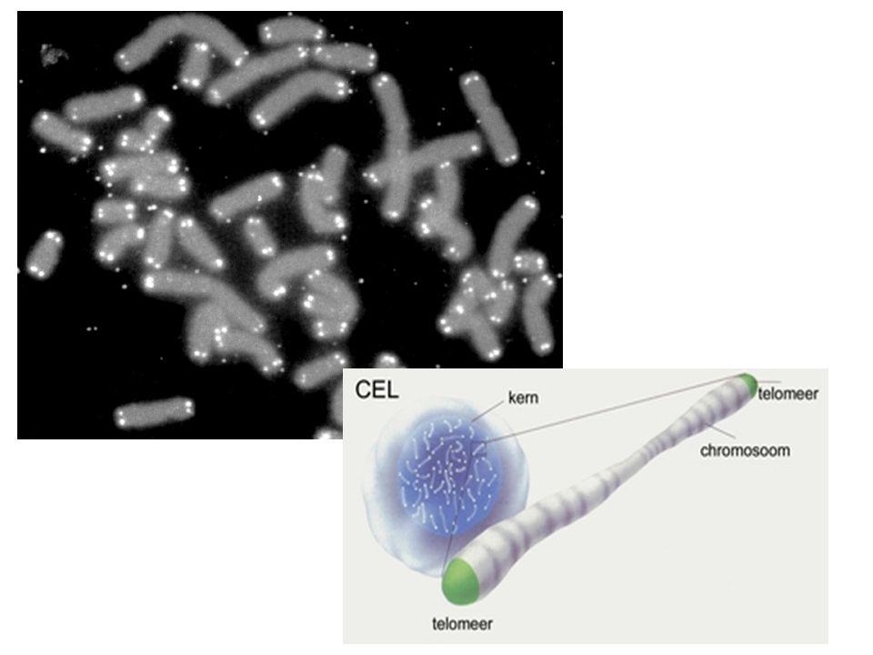 -Meeste menselijke cellen beperkt aantal keer delen (vaak 50 – 60 delingen) -Zenuwcellen delen zelfs na geboorte niet meer -Telomeer  repeterende stukjes DNA op einde chromosoom (TTAGGG)  tussen 3000 en 20000 stikstofbasen lang -Cel die niet meer kan delen raakt steeds meer beschadigd en verliest langzaam functie  o.a.