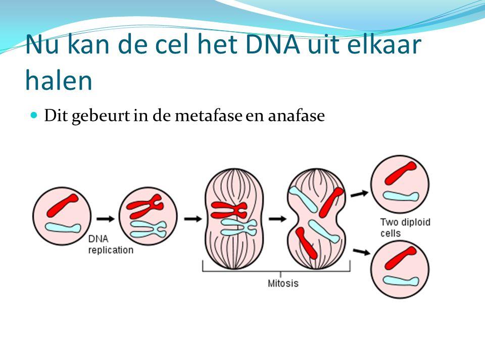 Nu kan de cel het DNA uit elkaar halen Dit gebeurt in de metafase en anafase