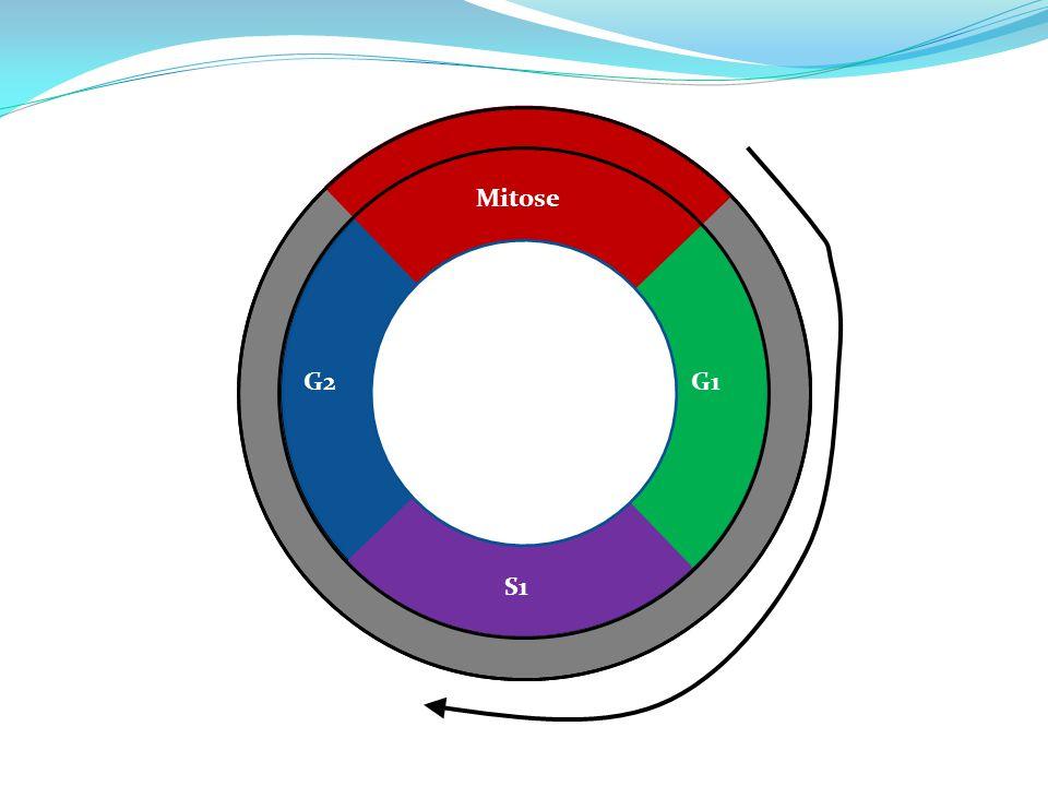 Mitose G1 S1 G2