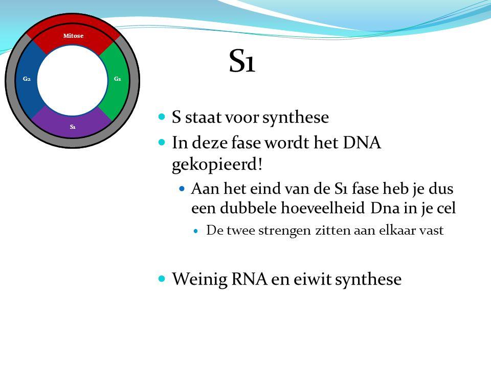 Mitose G1 S1 G2 S1 S staat voor synthese In deze fase wordt het DNA gekopieerd! Aan het eind van de S1 fase heb je dus een dubbele hoeveelheid Dna in