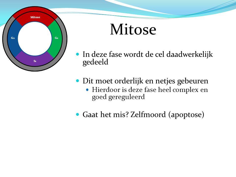 Mitose G1 S1 G2 Mitose In deze fase wordt de cel daadwerkelijk gedeeld Dit moet orderlijk en netjes gebeuren Hierdoor is deze fase heel complex en goe