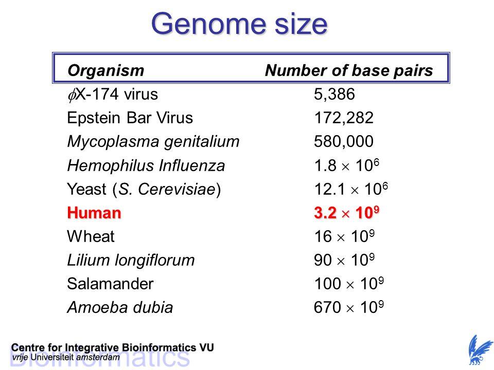 Genome size OrganismNumber of base pairs  X-174 virus5,386 Epstein Bar Virus172,282 Mycoplasma genitalium580,000 Hemophilus Influenza1.8  10 6 Yeast (S.