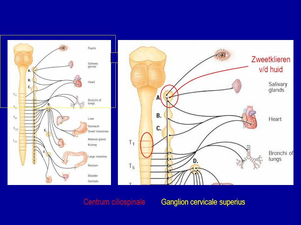 Centrum ciliospinaleGanglion cervicale superius Zweetklieren v/d huid