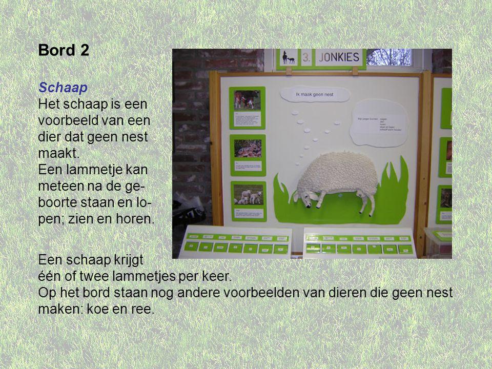 Bord 2 Schaap Het schaap is een voorbeeld van een dier dat geen nest maakt.