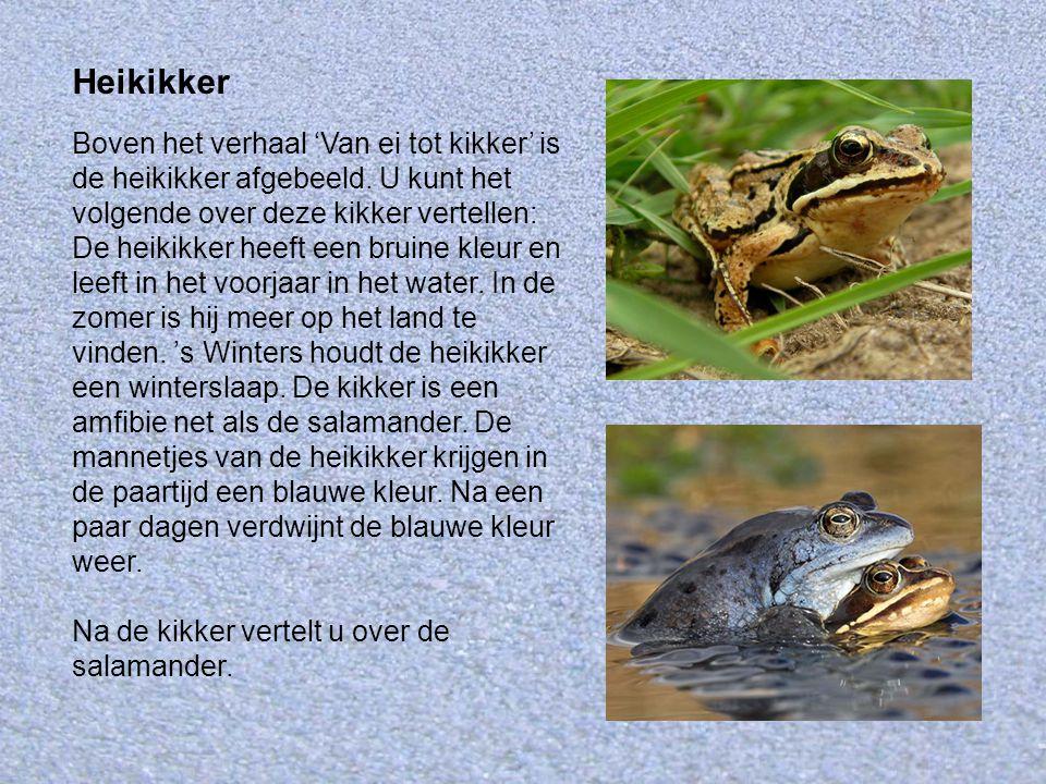 Heikikker Boven het verhaal 'Van ei tot kikker' is de heikikker afgebeeld. U kunt het volgende over deze kikker vertellen: De heikikker heeft een brui